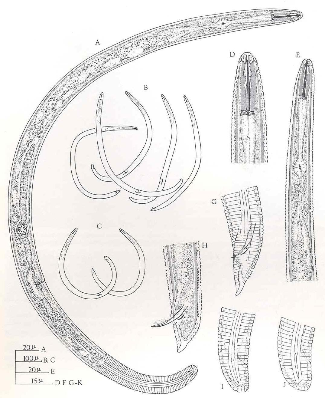Helicotylenchus multicinctus