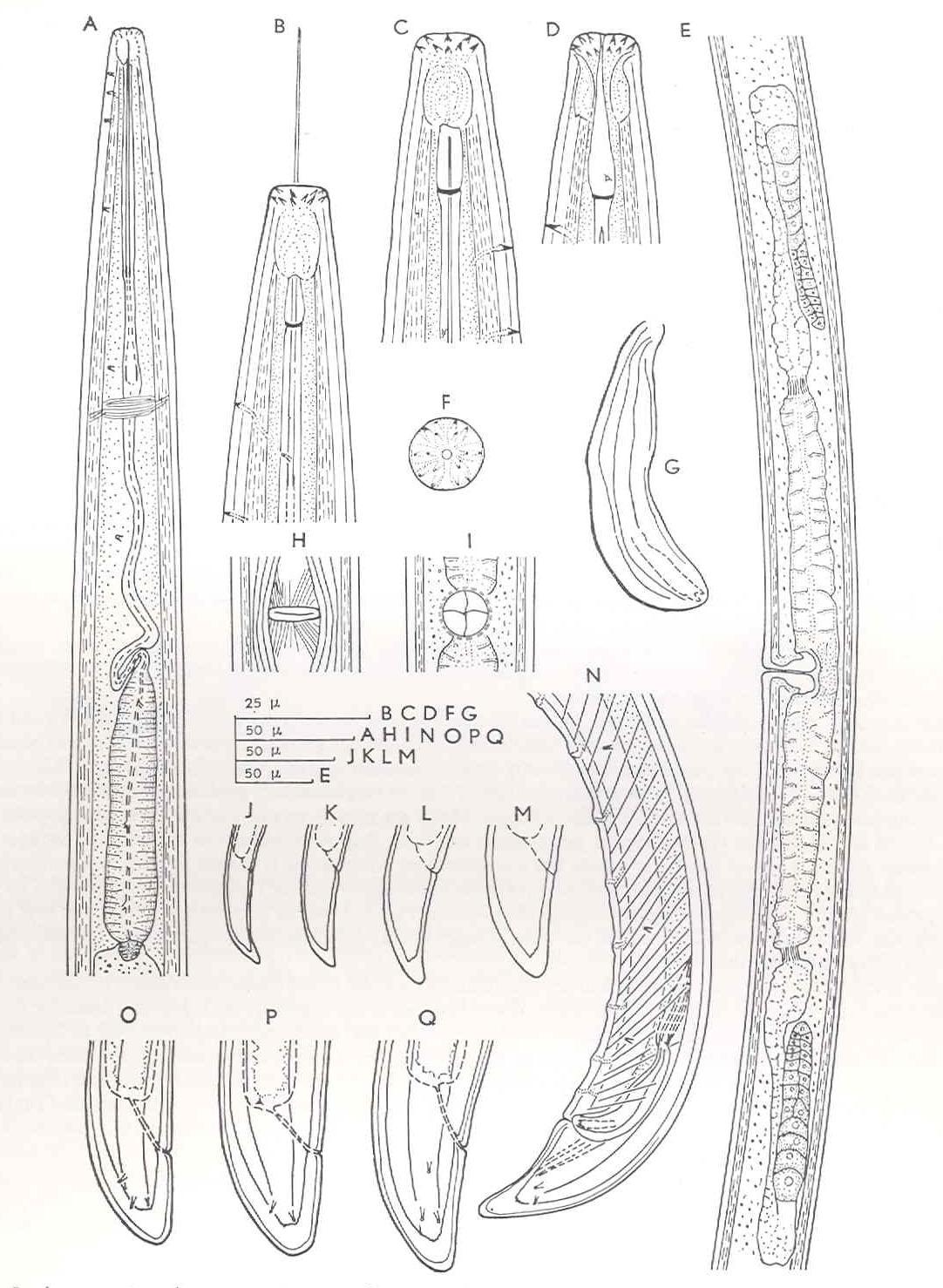 Longidorus elongatus